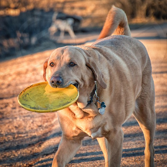 dog yellow labrador labrador with frisbee dog catching frisbee happy dog fun dog  photo
