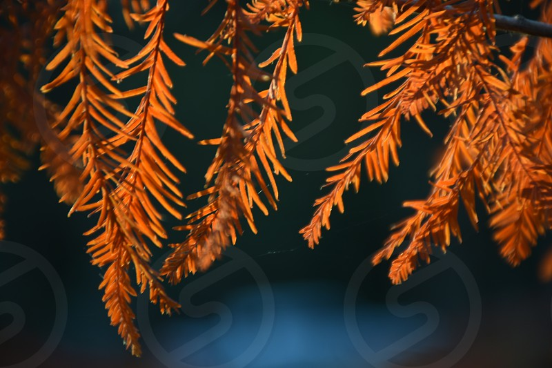 orange leaves hanging on branch photo