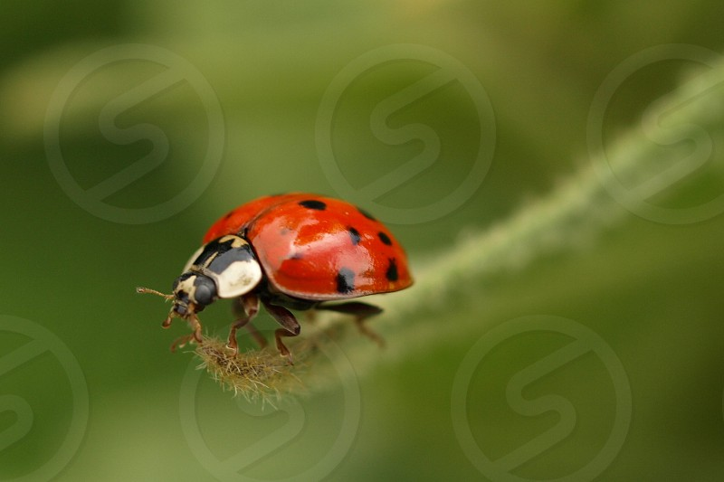 ladybug insect photo