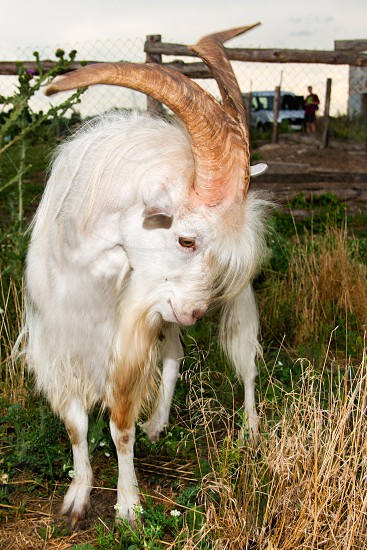 The angry he-goat. The angry he-goat is on a farm.  photo