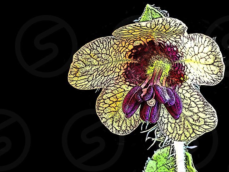 black henbane flower photo