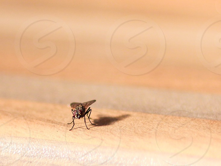 grey fly insect photo