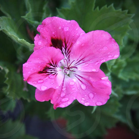 Pink Geranium photo