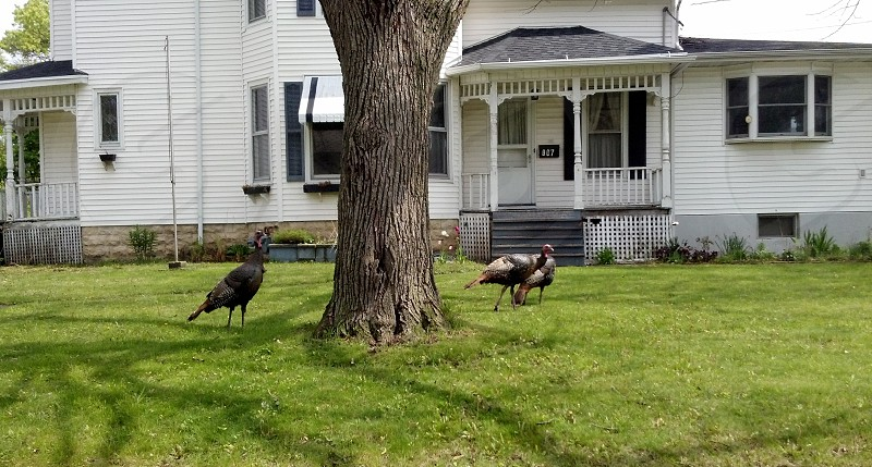 Turkey. Old House. Gobble Gobble. photo