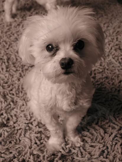 Cute Maltese.  photo