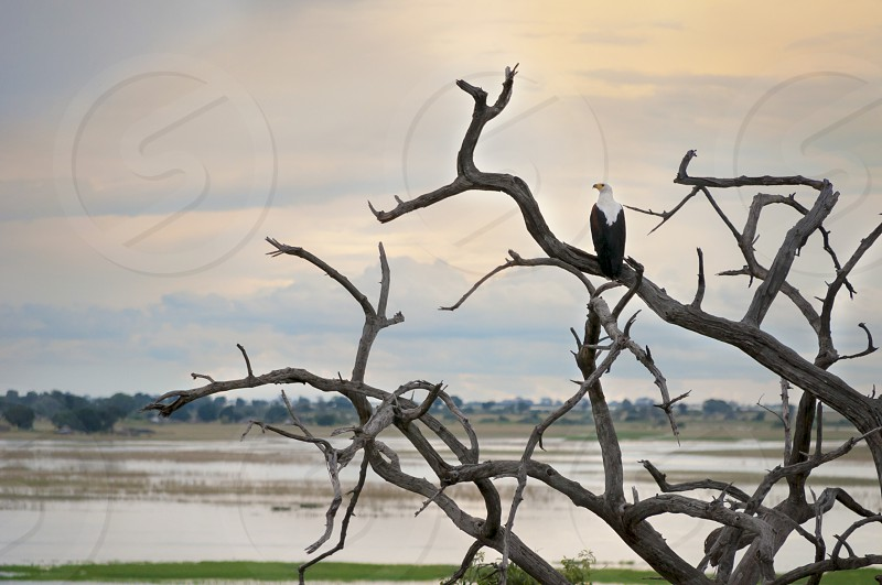 African eagle perched on the branches contemplating the sunset on the lake savannah photo