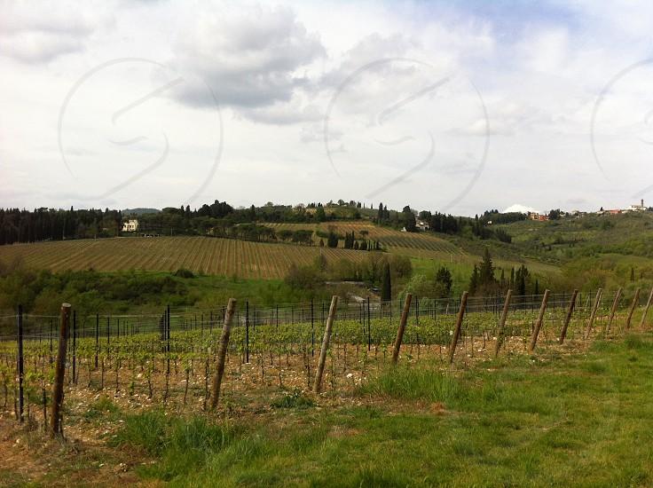large green vineyard photo