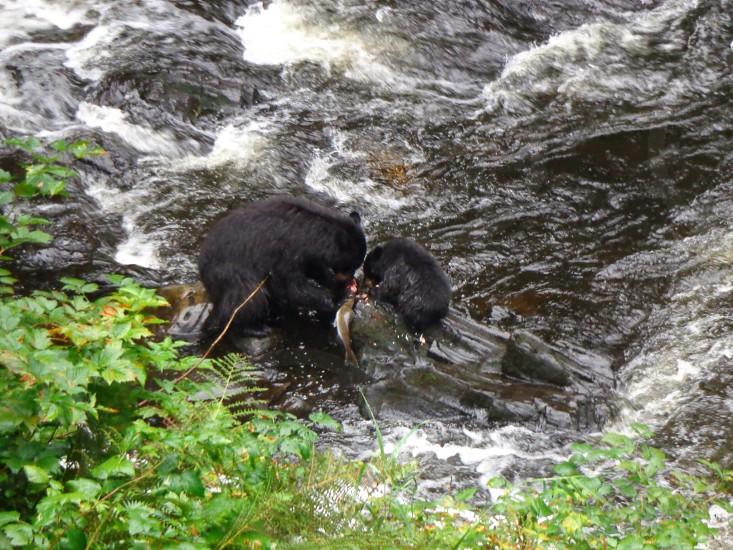 Photo taken in Alaska of Black Bear eating salmon in a steam photo