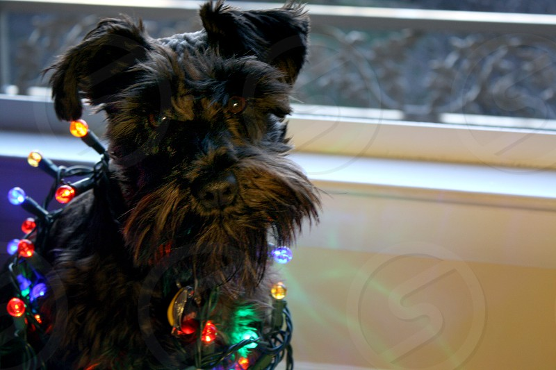 Mini schnauzer christmas christmas lights glow photo