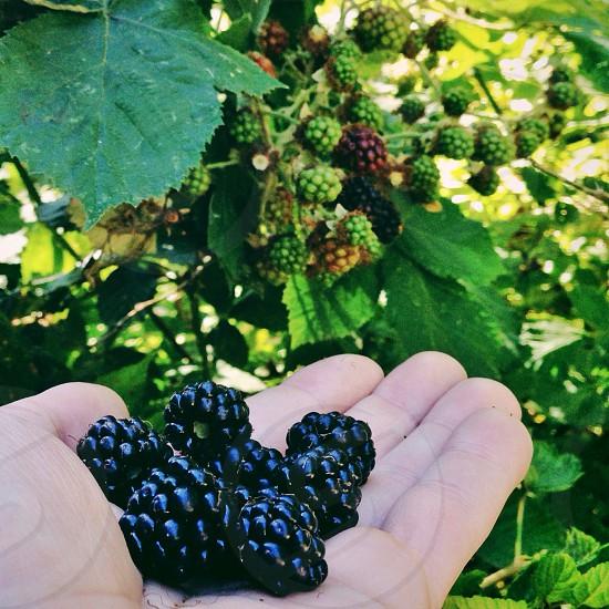 blackberries fruit photo