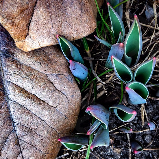 New tulips leaves spring  new born nature photo