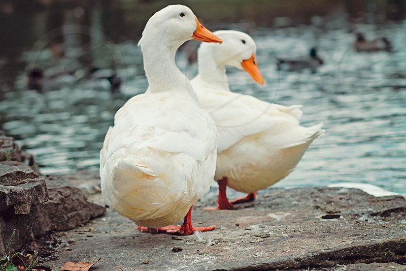 two white ducks standing on rock photo