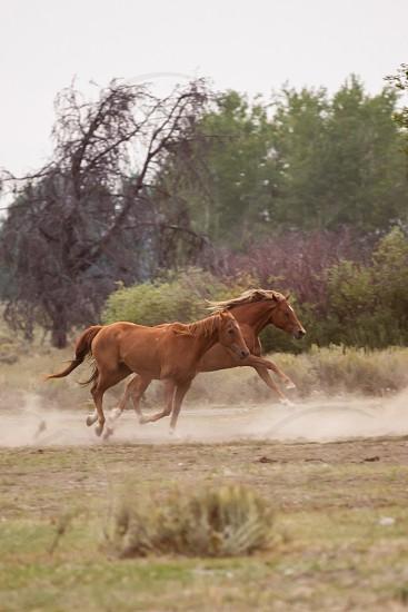 2 brown horse running photo