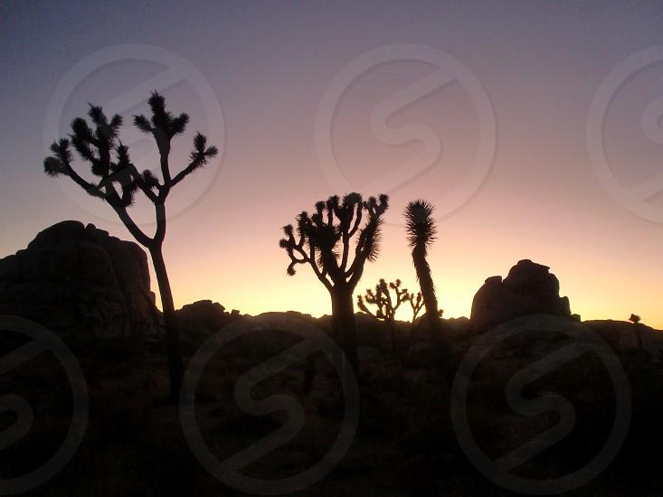 Joshua Trees against rising sun  early nature light day break plants seculents park vegetation photo
