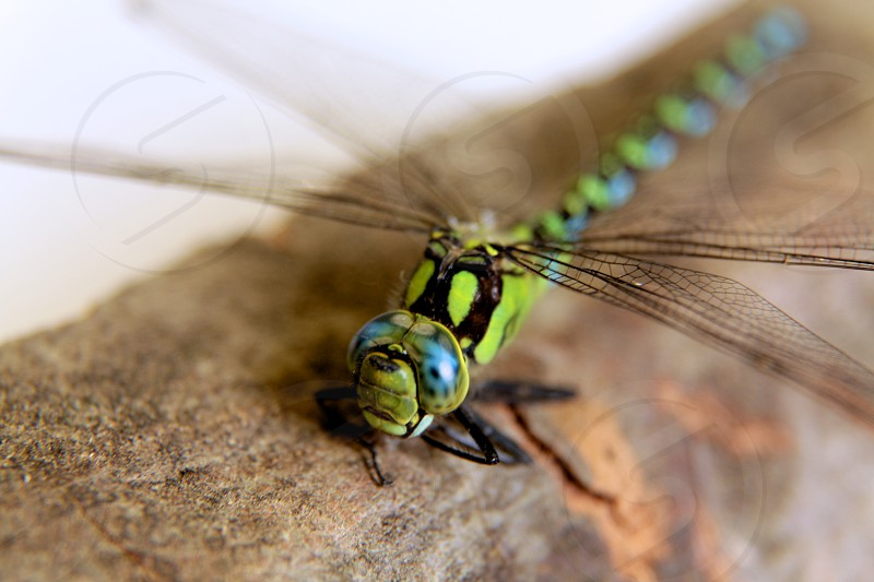 green and black dragonfly photo