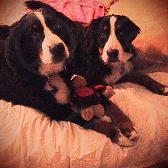 two bernese mountain dog photo