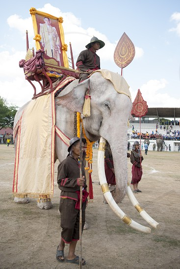 one of the few White Elephant at the Elephant Round-up Festival in the city of Surin in Northeastern Thailand in Southeastasia.  photo