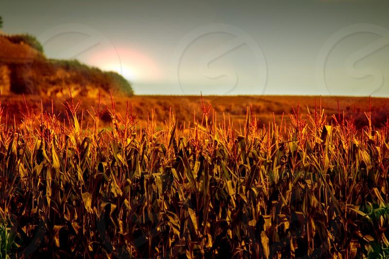 photography of cornfield photo