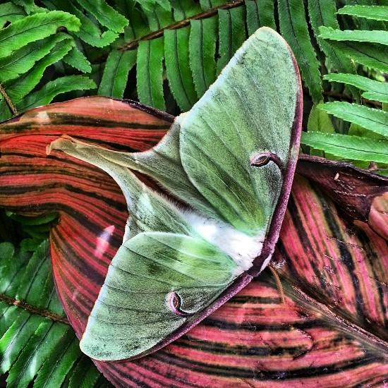 Luna moth on ferns and canna lily leaf Butterfly Wonderland Scottsdale AZ photo