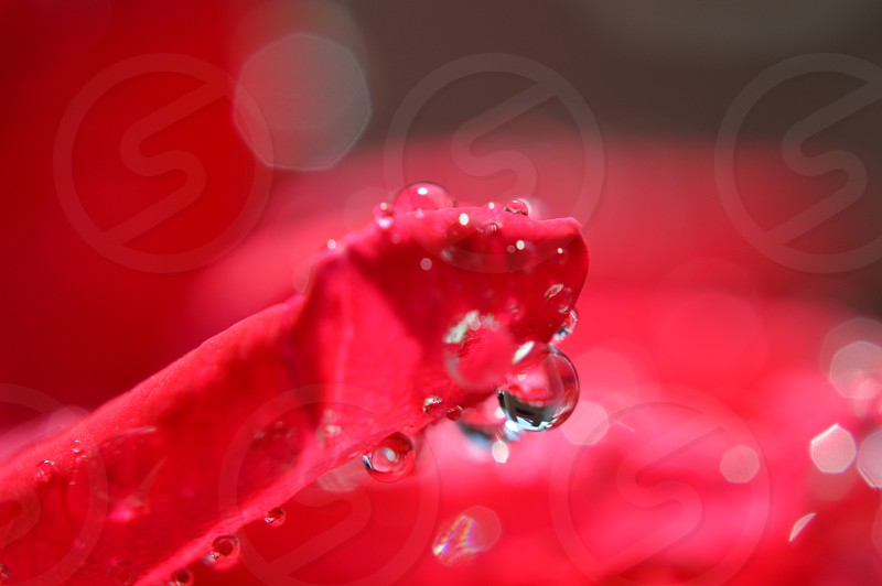 water droplets on red petal photo
