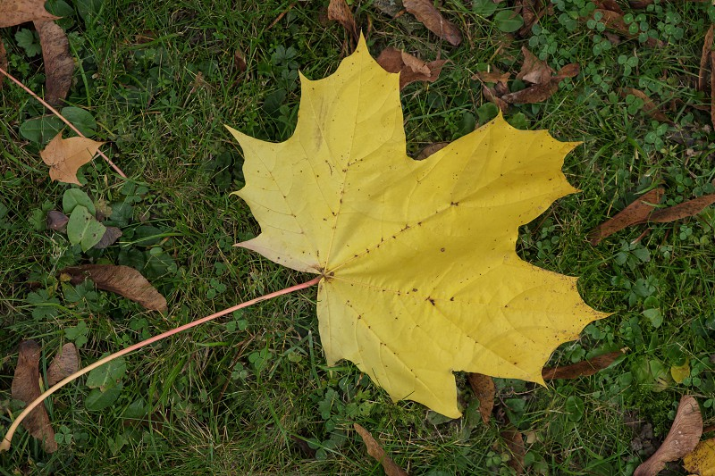 Sycamore leaf on the ground in Autumn in East Grinstead photo
