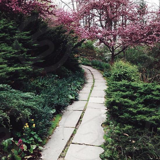 gray pathway near cherry blossom photo