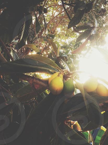 Lemon tree photo