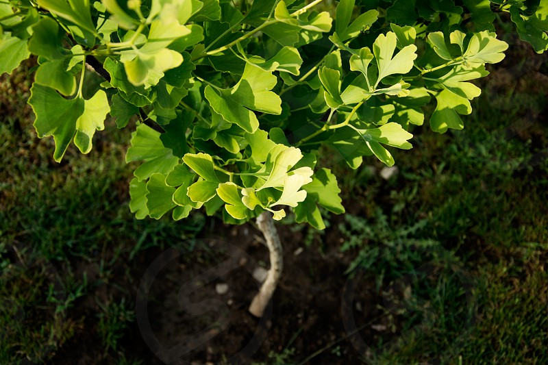 Ginkgo Biloba tree photo