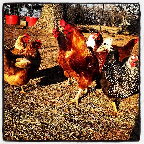 Chicken yard photo