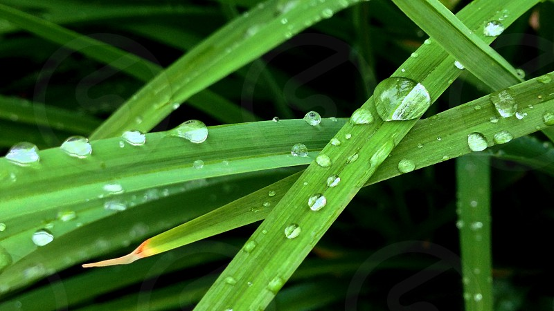 A row of rain drops on some skinny leaves.  photo