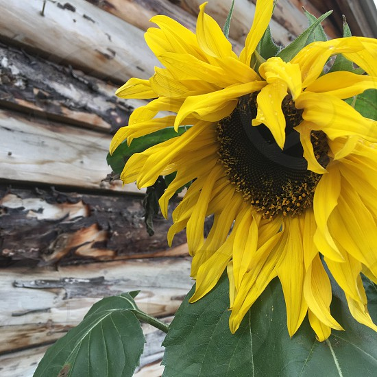 Sunflower summer yellow wooden happy photo