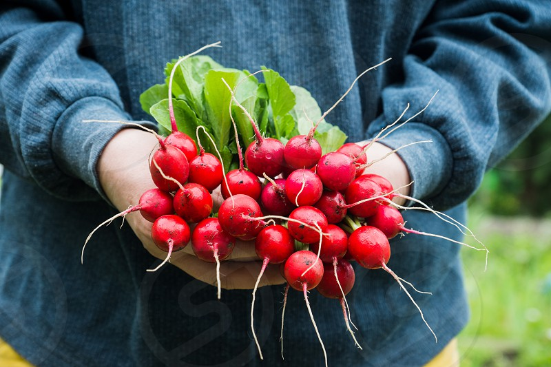 Farmers hands with freshly harvested radish photo