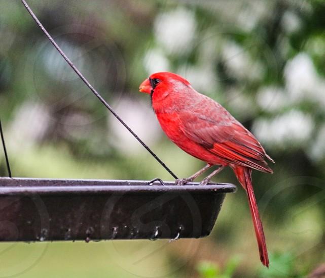 Red bird redbird avine avian fly feathers cardinal cardinals birds feather male female red feeding kibble sunflower seeds food eat photo