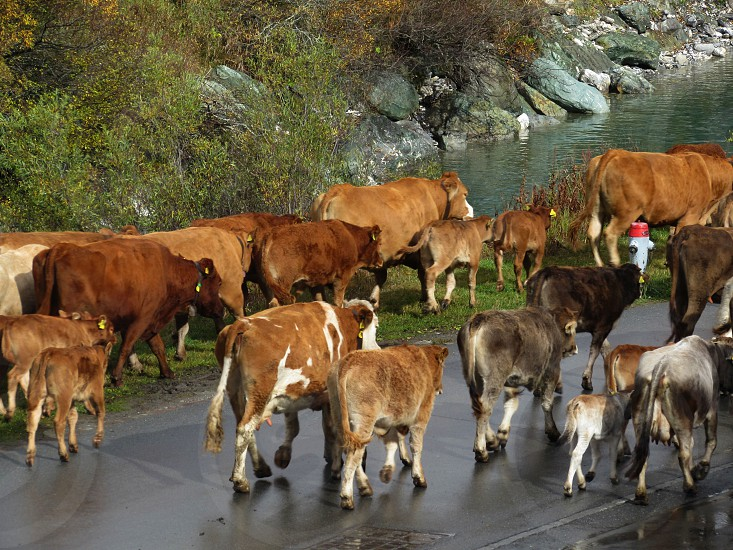 wild west cow cow in the city animals photo
