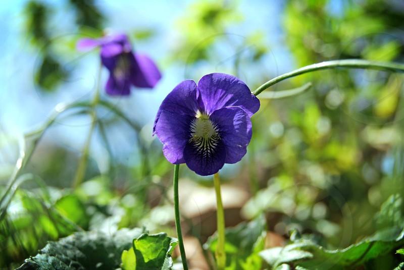 spring color violet flower nature photo