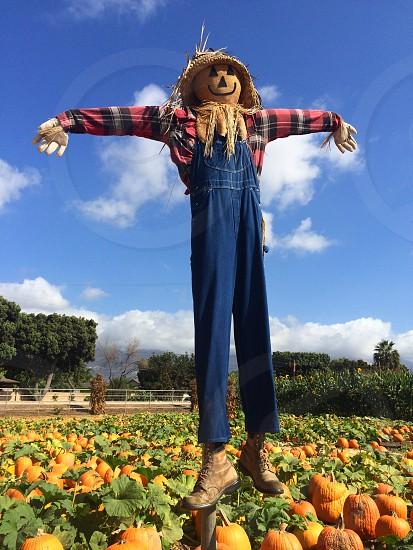 scarecrow pumpkins pumpkin patch farm corn photo