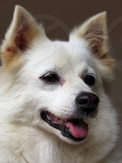 Pomeranian Dog White Dog photo