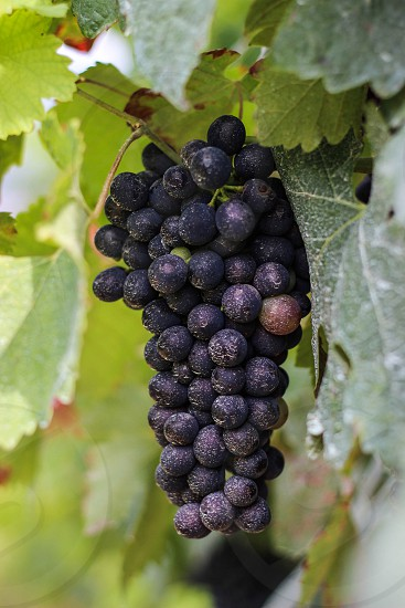 black berries fruit photo