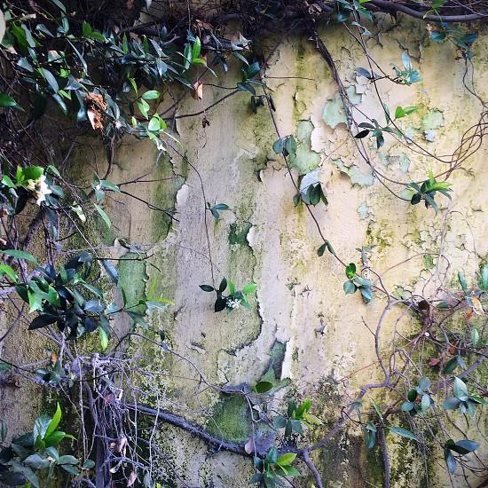 Jasmine and algae on weathered wall. photo