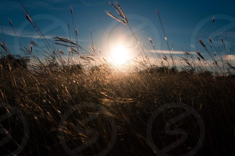 wheat grass over sunrise photo