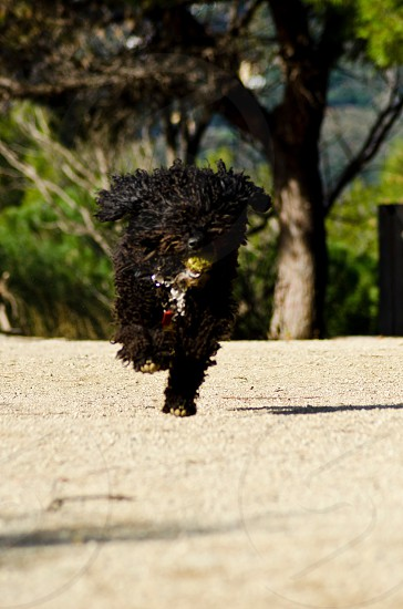 black long curly haired dog running photo