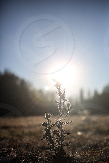 Dandelion Pollock Pines California photo