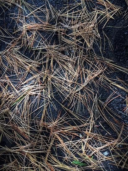 Fall Pine Needles  photo