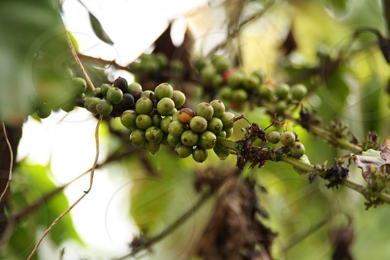 fruit tree branch photo