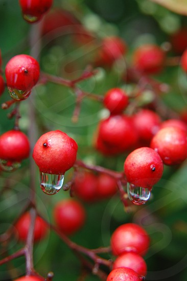 Dripping berries photo