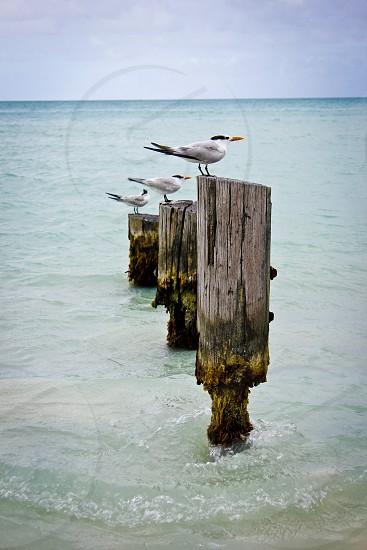 Birds on pylons Antigua Caribbean  photo
