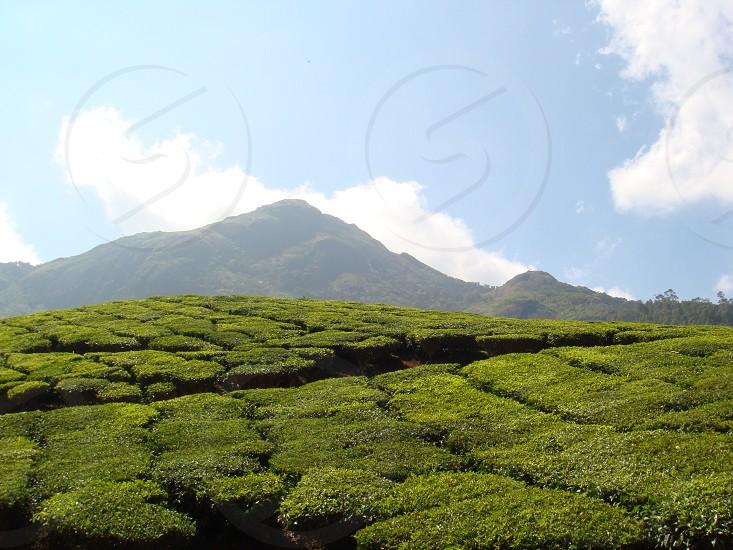 Tea Plantations Munnar India photo
