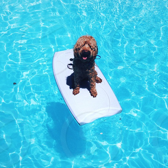brown dog on middle of pool photo