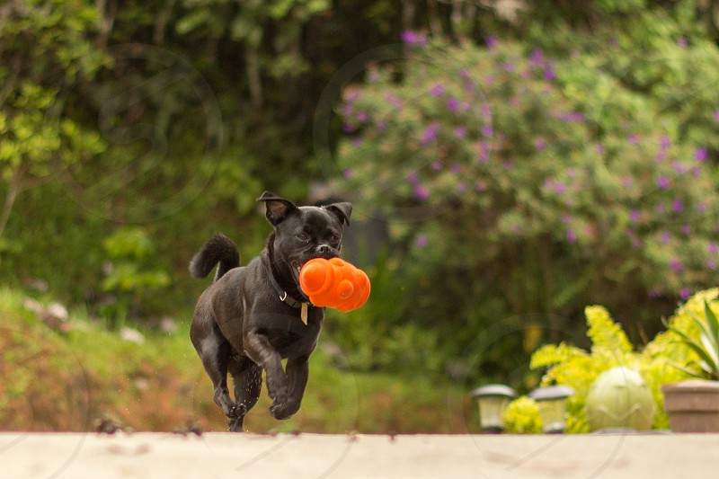 black haired dog with orange toy in mouth photo
