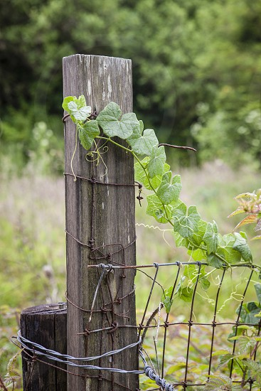 fence vine summer green trailing country overgrown wood fence post  photo